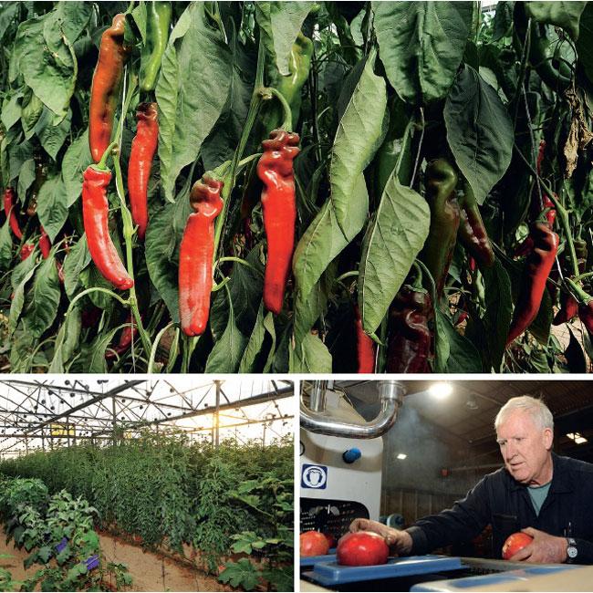 Sistemas de estufa turbinam a produção de hortaliças.