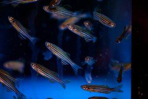 Peixe paulistinha, ou zebrafish