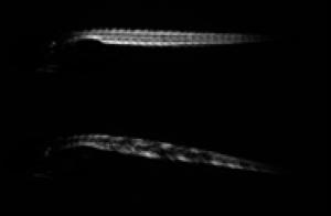 Larva de Zebrafish - o outro nome pelo qual o peixe paulistinha é conhecido