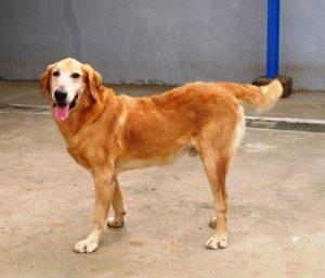 O golden retriever Ringo foi o primeiro cão distrófico que demonstrou a capacidade de compensar o problema
