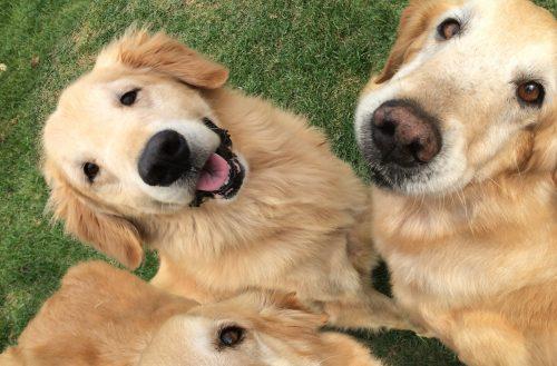Suflair (dir.) e outros cães com sintomas de distrofia muscular