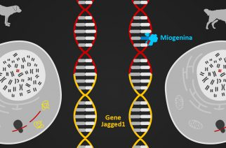 Infográfico: descobrindo o papel do gene Jagged1