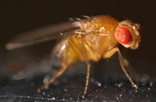 Drosophila melanogaster, a popular mosquinha da banana, é modelo para a pesquisa de genes novos (Foto: Mr.checker/Wikimedia Commons)