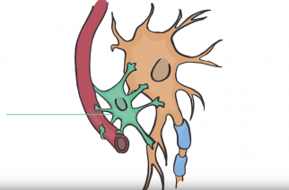 Neurônio afetado por autismo muda conforme ambiente cerebral