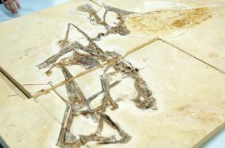 Pterossauro é a estrela de exposição do Museu de Geociências da USP