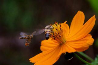 Abelha africanizada (Apis mellifera) sobre cosmos (Cosmos sulphureus), voando ao lado uma abelha brasileira sem ferrão: Frieseomelitta varia. Foto: Guilherme Simões