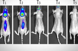 Zika destrói tumor cerebral em camundongos