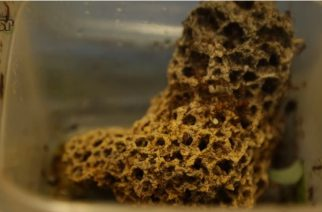 Cientistas buscam novos fármacos em microrganismos cultivados por insetos